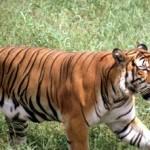 Tygrys chiński (Panthera tigris amoyensis)