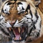 Tygrys indochiński (Panthera tigris corbetti)