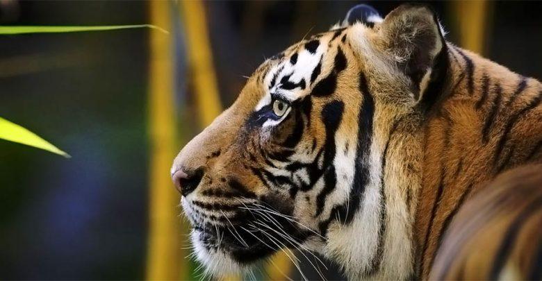Photo of Tygrys indochiński, chiński i malajski