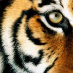 Tygrys malajski (Panthera tigris jacksoni)