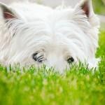 West Highland White Terrier.