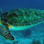 Żółw zielony, jadalny (Chelonia mydas)