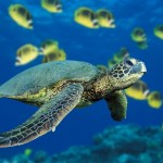 Żółw zielony, jadalny (Chelonia mydas).
