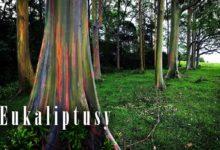 Photo of Eukaliptusy (Eucalyptus)