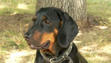Photo of Gończy polski, Pies Pawłusiewicza