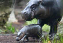 Photo of Hipopotam karłowaty