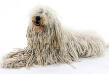 Photo of Komondor – pies pasterski