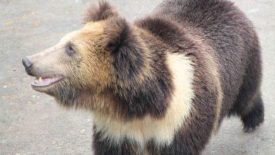 Photo of Tybetański niedźwiedź błękitny.