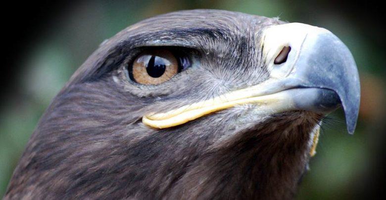Photo of Orzeł stepowy (Aquila nipalensis)