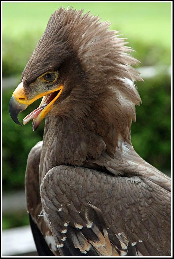 Orzeł stepowy (Aquila nipalensis)