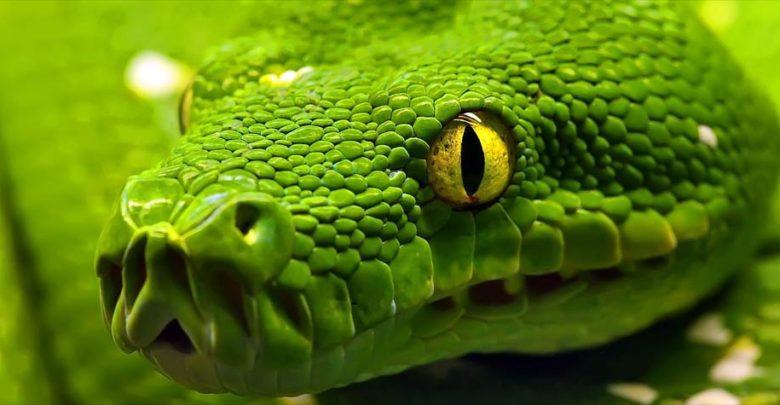 Photo of Pytony (Pythonidae) – fascynujące dusiciele