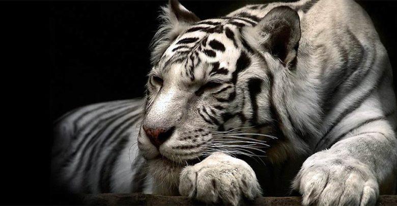 Photo of Białe tygrysy