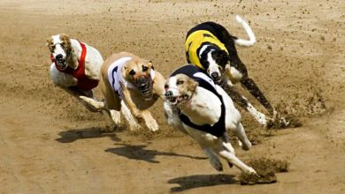 Photo of Greyhound – najszybszy pies świata