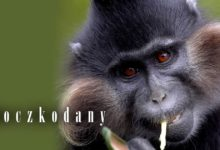 Photo of Koczkodany (Cercopithecus)