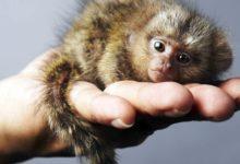 Photo of Pigmejka – najmniejsza małpa świata.