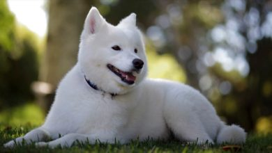 Photo of Samojed, Samoyed, Samojedskaja