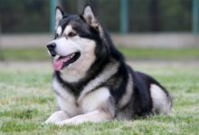 Photo of Alaskan malamute