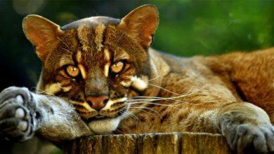 Photo of Mormi, kot złoty azjatycki, azjatycki kot złocisty