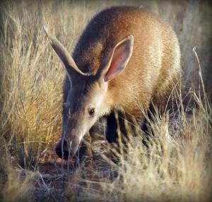 Image result for aardvark