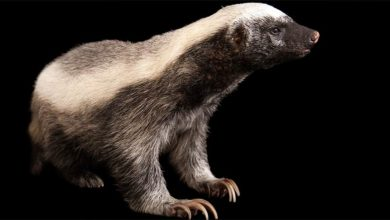 Photo of Ratel, miodożer – najodważniejsze zwierzę świata