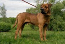 Photo of Tosa, Tosa inu – zakazany pies