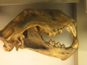 Lew amerykański (Panthera leo atrox / Panthera atrox).