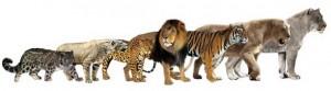 Lew jaskiniowy i lew amerykański.