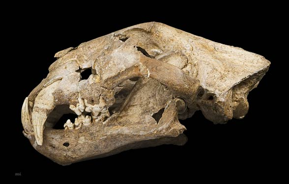 Lew jaskiniowy, europejski, euroazjatycki (Panthera leo spelaea lub Panthera spelaea)