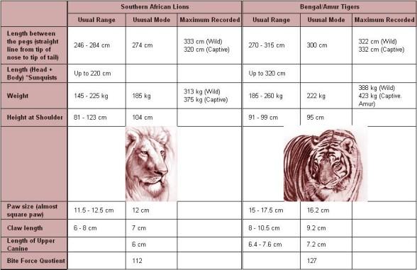 Lew vs tygrys - porównanie wielkości