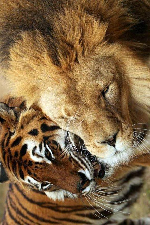 Lew i tygrys