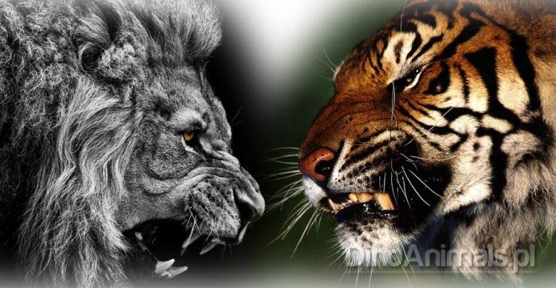 Photo of Pojedynek – tygrys kontra lew