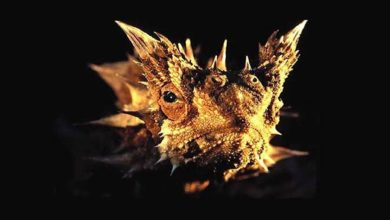 Photo of Moloch straszliwy (Moloch horridus)