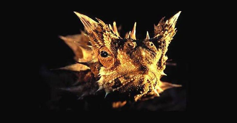 Photo of Moloch straszliwy (Moloch horridus)