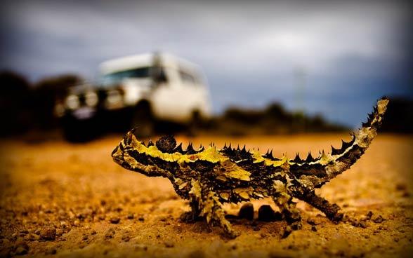 Moloch straszliwy (Moloch horridus).