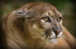 Florida panther (pantera z Florydy, pantera florydzka) Puma concolor coryi.
