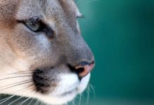 Photo of Florida panther – puma ze złamanym ogonem