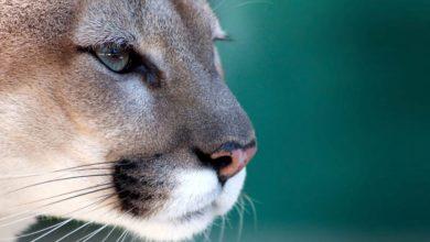 Photo of Florida panther – puma ze złamanym ogonem