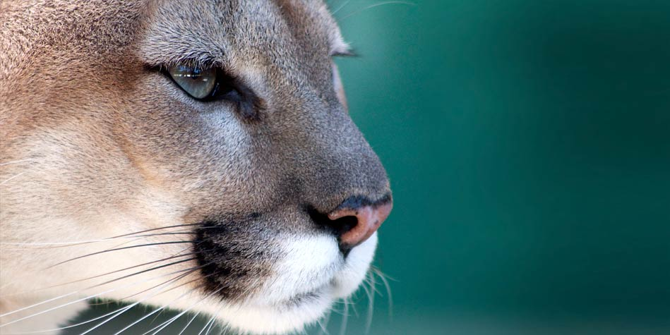 Pantera Florydzka Florida Panther Puma Dinoanimalspl