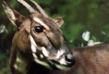 Photo of Saola, wół Vu Quang (Pseudoryx nghetinhensis)