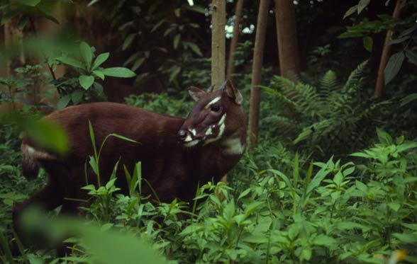 Saola, wół Vu Quang (Pseudoryx nghetinhensis).