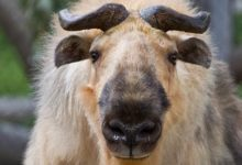 Photo of Takin (Budorcas taxicolor)