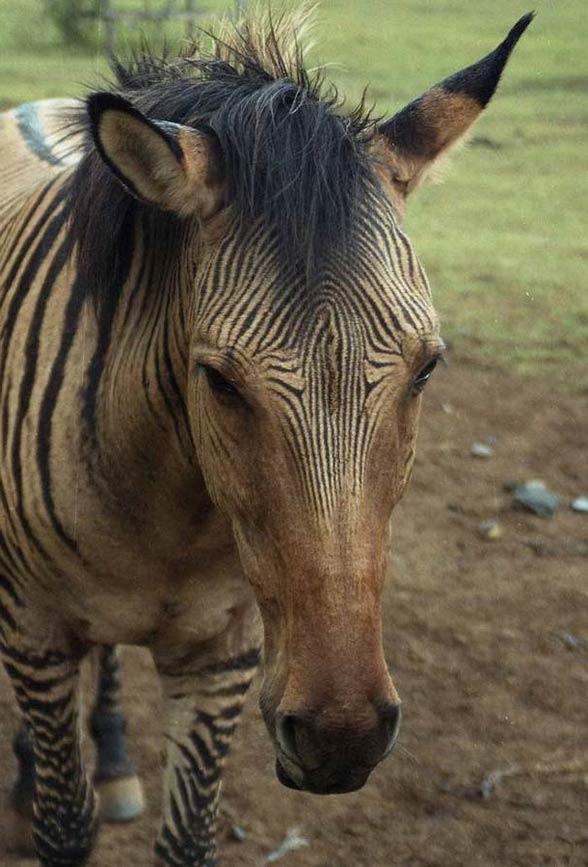 Zebroid