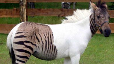 Photo of Zebroid – krzyżówka zebry z koniem