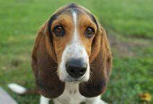 Photo of Basset hound