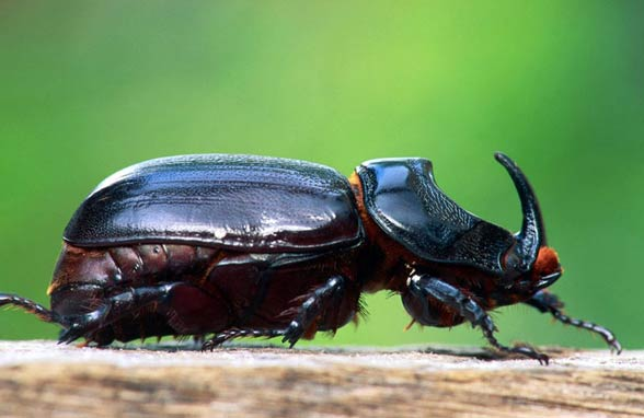 Chrząszcze, tęgopokrywe (Coleoptera)
