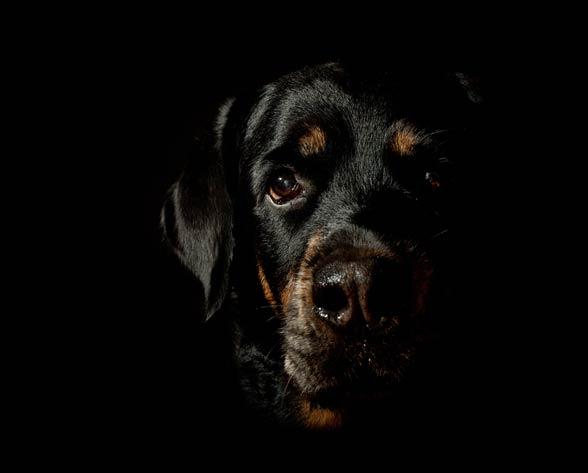 Czarny pies.