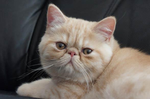 Kot egzotyczny.
