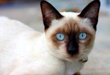 Photo of Kot syjamski – pies wśród kotów