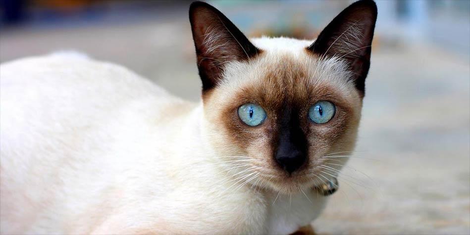 Kot Syjamski Pies Wśród Kotów Dinoanimalspl