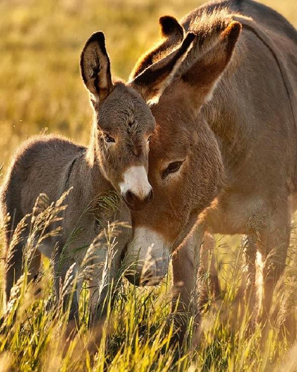 Osioł (Equus africanus, Equus asinus).